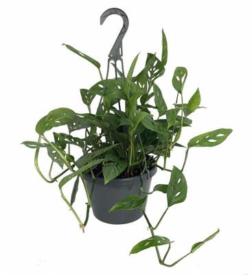 "Hirt's® Swiss Cheese Plant -Monstera adansonii- Easy to Grow - 8"" Hanging Basket"