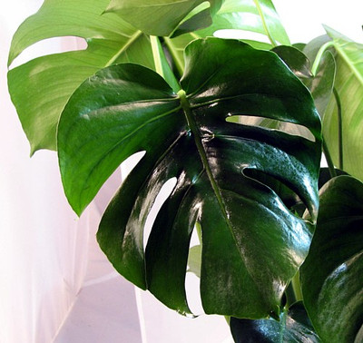 "Split Leaf Philodendron 2.5"" Pot - Monstera - Edible Fruit Pineapple Taste"