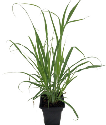 Ohio Grown Lemon Grass Plant - Cymbopogon - Also Repels Mosquitoes - Quart Pot