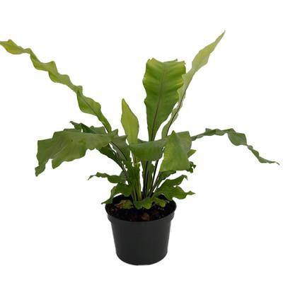 """Bird's Nest Fern - 6"""" Pot - Asplenium nidus - Easy House Plant"""