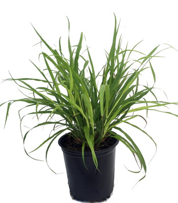 "Hirt's Gardens Lemon Grass Plant - Cymbopogon - Also Repels Mosquitos - 6"" Pot"
