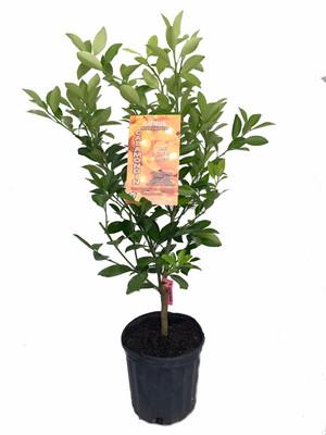 "Panama Orange Tree - Calamondin- Bush Form - 6"" Pot- No Ship To CA,FL,TX, AZ"