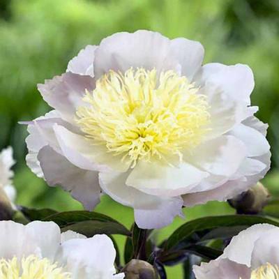 Primevere Peony - Extremely Large Creamy White Flowers - Bareroot