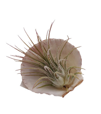 """Magnetic Shell with Live Air Plant - 2"""""""