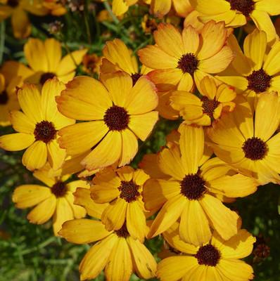 Butter Rum Coreopsis Perennial Plant - Tickseed - NEW! - Quart Pot