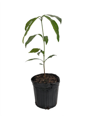 "Achacha Tree - Garcinia humilis - 6"" Pot - Tropical Fruit - Indoors or Out"