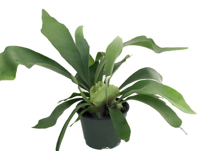 "Staghorn Fern - Platycerium biforcatum - Exotic Houseplant - 6"" Pot"