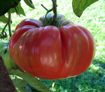 "Brandywine Red Tomato Plant - 2.5"" Pot - Great Tomato Taste!"