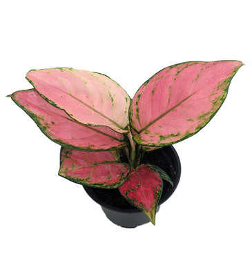 """Cherry Chinese Evergreen Plant - Aglaonema-Grows in Dim Light-4"""" Pot-Collector's"""