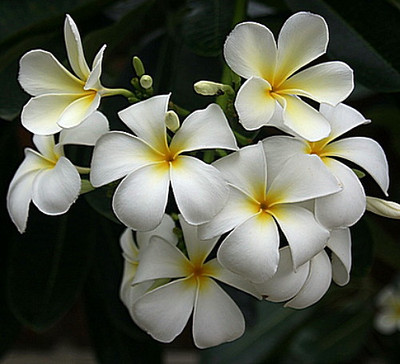"Exotic Singapore White Plumeria Plant - Frangipani - 8 -10"" Cutting"