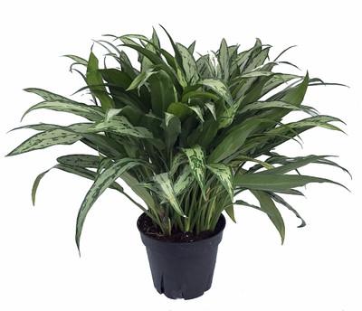 "Cutlass Chinese Evergreen Plant - Aglaonema - Low Light - 4"" Pot"