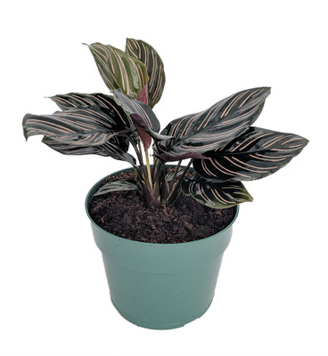 """Pin Stripe Prayer Plant - Calathea ornata - Easy House Plant - 6"""" Pot"""