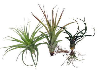 3  Live Airplants - Tillandsia - Bareroot - Terrarium/Fairy Garden/Houseplant