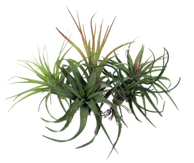 5 Live Airplants - Tillandsia - Bareroot - Terrarium/Fairy Garden/Houseplant