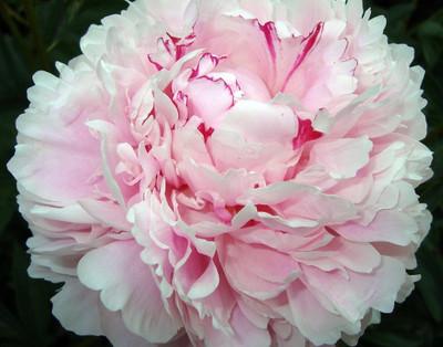 Peony Festiva Maxima - Fragrant - Glistening White/Red - 3/5 eyes Bareroot