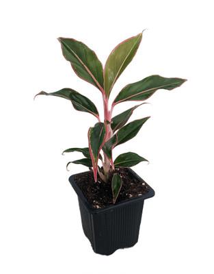 "Siam Aurora Chinese Evergreen Plant - Aglaonema -Grows in Dim Light - 2.5"" Pot"