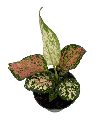 """Wishes Chinese Evergreen Plant 4"""" Pot - Aglaonema - Low Light"""