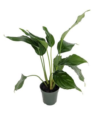 "Emerald Green Chinese Evergreen Plant - Aglaonema simplex - Low Light - 4"" Pot"