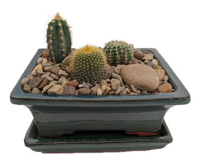 Arizona Cactus Garden - Glazed Pot - Great Gift - Easy to grow!