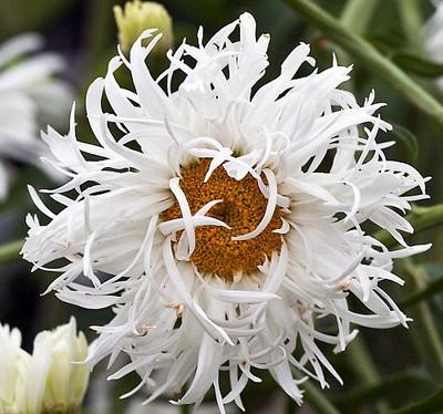 Crazy Daisy Perennial - Leucanthemum - Quart Pot