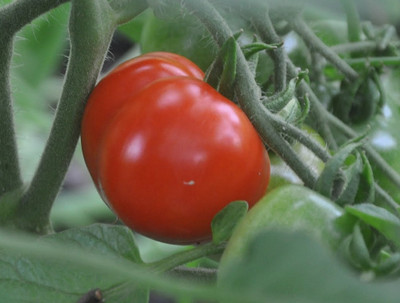 """Stupice Tomato Plant - Very Early/Exceptional Taste - 2.5"""" Pot"""