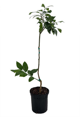 "Dwarf Eureka Lemon Tree Form- 4x12"" Pot -NO SHIPPING TO TX, FL, AZ, CA, LA, HI"