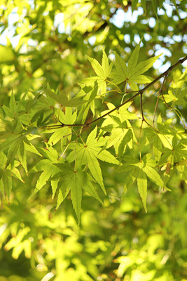 "Green Japanese Maple - Bonsai/Outdoors- Acer Palmatum Atropurpureum - 4"" Pot"