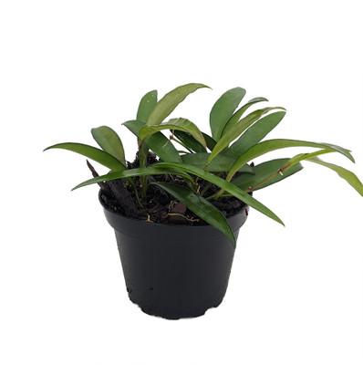 "Bamboo Leaf Wax Plant - Hoya kentiana - 4"" Pot - Collector's Series"