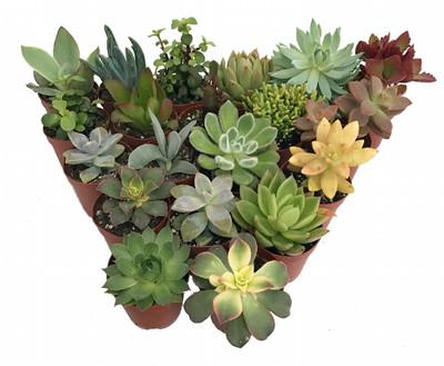 "Succulent Terrarium & Fairy Garden Plants - 20 Plants in 2"" Pots"