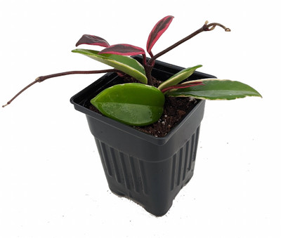 """Krimson Queen Wax Plant - Hoya - 4"""" Pot"""