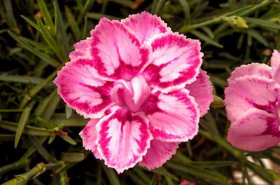 Starburst Dianthus - Fragrant Dbl Pink and Red Blossoms - Quart Pot