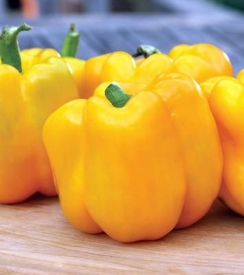 """Burpee Gold Standard Sweet Pepper - 4"""" Pot - Biggest & Best Gold Pepper"""