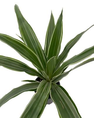 "White Stripe Dragon Tree - Dracaena warneckii - 3.5"" Pot"