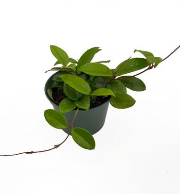 "Green Wax Plant - Hoya - Great House Plant - 6"" Pot"