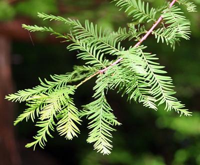 """Bald Cypress - Taxodium Distichum - Bonsai or Outdoor - 5.5"""" Pot"""