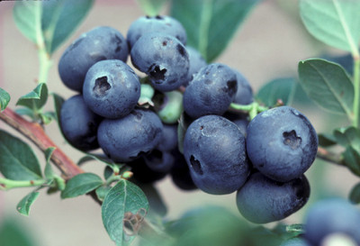 "Northblue Blueberry Plant - Compact/Low Growing - 2.5"" Pot"