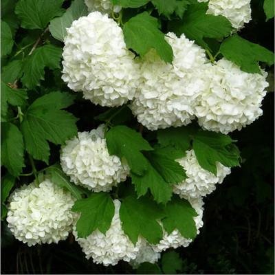 """European Snowball Viburnum opulus - Heirloom - Most Popular Viburnum - 4"""" Pot"""