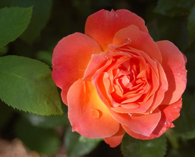 "Livin' Easy Rose Bush - Citrus Fragrance - Everblooming - 4"" Pot"
