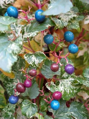"Porcelain Vine Plant - Ampelopsis brevipedunculata - 2.5"" Pot"