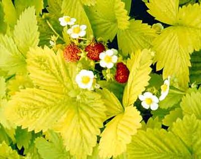 Golden Alexander Strawberry 100 Seeds/Seed