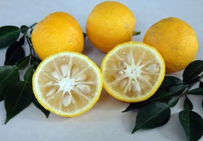 """Rare Yuzu Citrus Tree - Indoors/Out - No Ship TX, FL, AZ, CA, LA, HI - 5"""" Pot"""