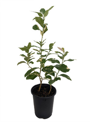 "Pink Variegated Eureka Lemon Tree - 6"" - Pot-Bush Form-NO SHIP TX,FL,AZ,CA,LA,HI"
