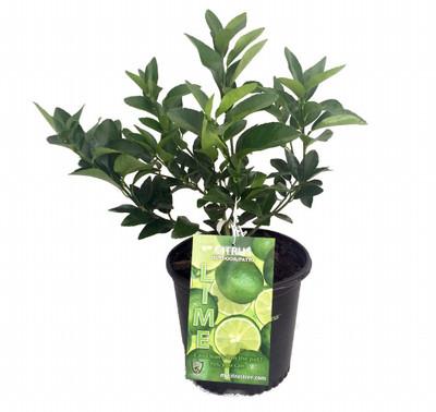 "Everbearing Persian Lime Tree - 8"" Pot - NO SHIPPING to TX, FL, AZ, CA, LA, HI"