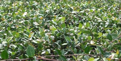 """Jasmine Minima Asiatic - Trachelospermum asiaticum 'Minima' - 4"""" Pot"""