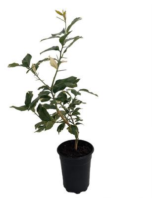 "Pink Variegated Eureka Lemon Tree - 5"" - Pot-Bush Form-NO SHIP TX,FL,AZ,CA,LA,HI"