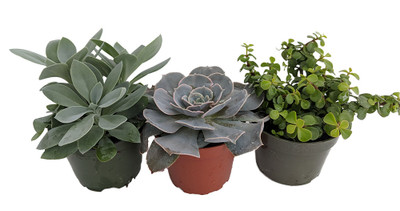 "3 Different Succulent Plants - Easy to grow - Low Maintenance - 4"" Pots"