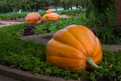 Dills Atlantic Giant Pumpkin 15 Seeds -HUGE
