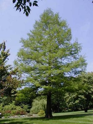 Bald Cypress 20 Seeds-Taxodium Distichum-Bonsai/Outdoor
