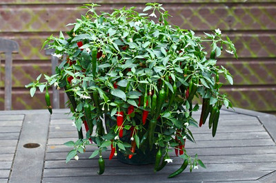 Cayenetta Pepper - 20 Seeds - Mildy Spicy