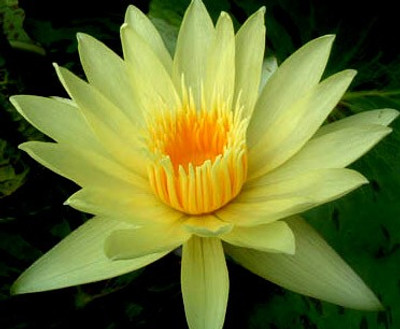 Eldorado Yellow Water Lily 10 Seeds - Nymphaea